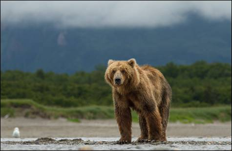"Journey Into The Alaskan Wilderness With Disneynature's ""Bears""!"